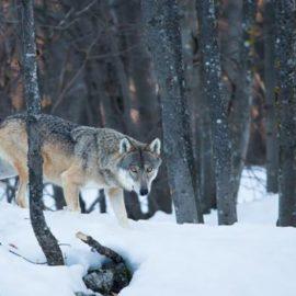 Il lupo e altre storie
