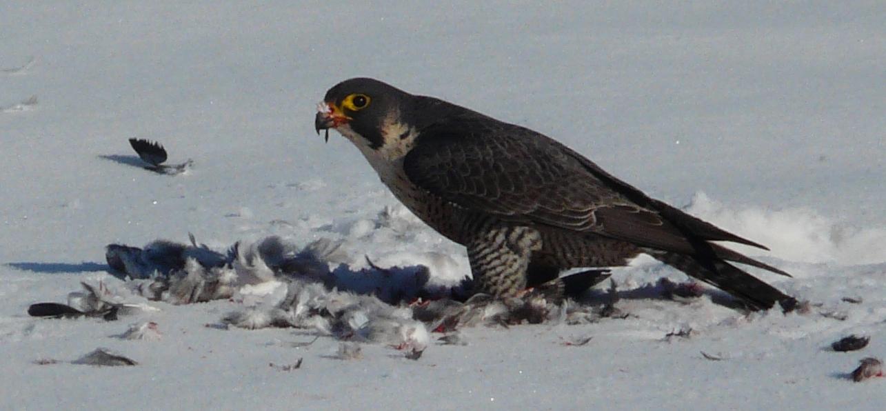 falco pellegrino museo naturalistico di revello parco del monviso 28 maggio