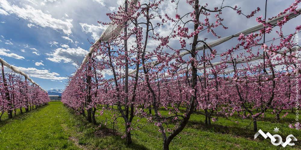 alberi fioriti