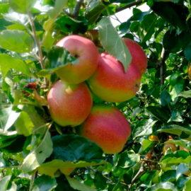 Mele Autoctone del Piemonte P.A.T. e vecchie varietà di Mele Piemontesi P.S.F.